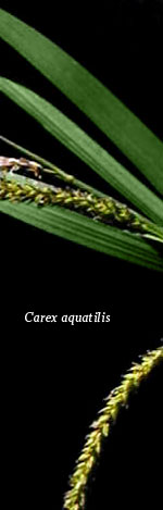 [Picture of <em>Carex aquatilis</em>]