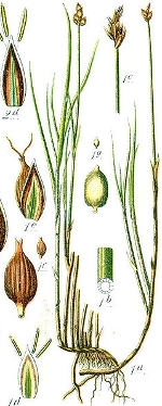 [Picture of <em>Carex chordorrhiza</em>]