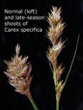 [Picture of <em>Carex specifica Lassen NP 79 (10) PZ</em>]